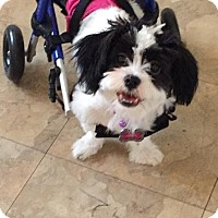 Adopt A Pet :: Ariel - Scottsdale, AZ