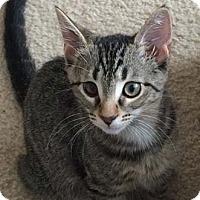Adopt A Pet :: Harper - Merrifield, VA