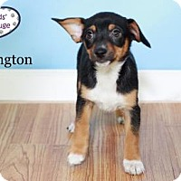 Adopt A Pet :: Paddington - Adoption Pending - Lee's Summit, MO