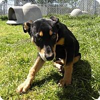 Adopt A Pet :: Darcie - Terrell, TX