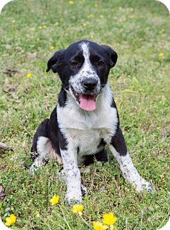 Australian Cattle Dog/Retriever (Unknown Type) Mix Puppy for adoption in Waterbury, Connecticut - Mary Ellen Walton