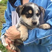 Adopt A Pet :: Renegade (6 lb) Video - Sussex, NJ