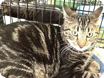 Bengal Cat for adoption in Cerritos, California - Connor