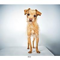 Adopt A Pet :: Bruce - New York, NY