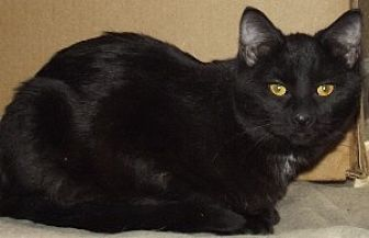 Domestic Shorthair Cat for adoption in Savannah, Missouri - Jersey