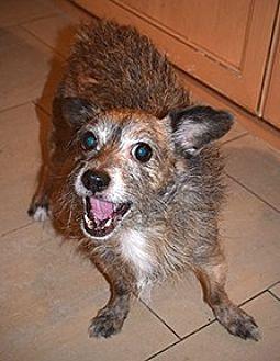Schipperke Mix Dog for adoption in Mission Viejo, California - SHAUN