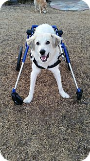 Great Pyrenees Puppy for adoption in Tulsa, Oklahoma - Link  *ADOPTED