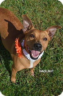 Shepherd (Unknown Type)/Bull Terrier Mix Dog for adoption in Independence, Missouri - Hazelnut