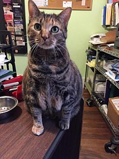Domestic Shorthair Cat for adoption in Holly Springs, Mississippi - Toodles