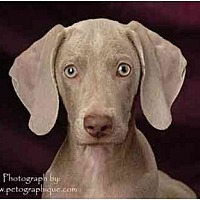 Weimaraner Mix Puppy for adoption in Las Vegas, Nevada - LVWCR PUPPIES