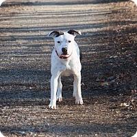 Adopt A Pet :: Sassy - Pegram, TN