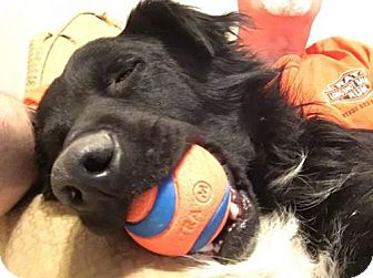 Border Collie Dog for adoption in Plymouth, Indiana - Dale