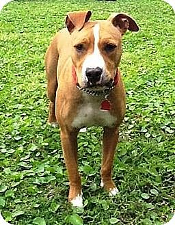 American Pit Bull Terrier Mix Dog for adoption in Royal Palm Beach, Florida - Tallulah