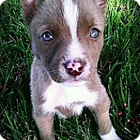 Adopt A Pet :: Snickers - Cypress, CA
