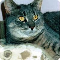 Adopt A Pet :: Socks - Medway, MA