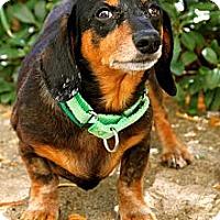 Adopt A Pet :: Boomer - Mission Viejo, CA