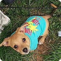 Adopt A Pet :: Fox - Henderson, NV