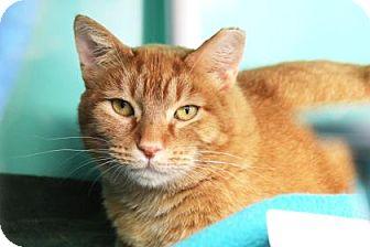 Domestic Shorthair Cat for adoption in Bellevue, Washington - Pumpkin