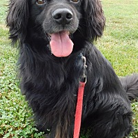 Cocker Spaniel/Flat-Coated Retriever Mix Dog for adoption in Hedgesville, West Virginia - Berkley