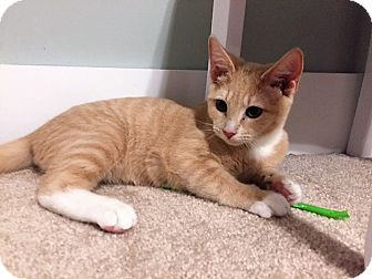 Domestic Shorthair Cat for adoption in Richmond, Virginia - Brewster