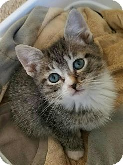 Domestic Mediumhair Kitten for adoption in Monrovia, California - Lucas