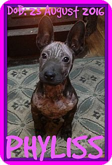 Terrier (Unknown Type, Medium) Mix Puppy for adoption in Manchester, New Hampshire - PHYLISS