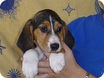 Labrador Retriever/Hound (Unknown Type) Mix Puppy for adoption in Oviedo, Florida - Max