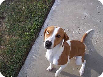 Beagle Mix Dog for adoption in Tampa, Florida - Willow