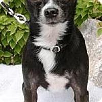 Adopt A Pet :: Chuy - Gilbert, AZ