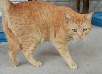 Domestic Shorthair Cat for adoption in Anniston, Alabama - PetSmart Cats