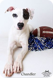 American Pit Bull Terrier Mix Dog for adoption in Luling, Louisiana - Chandler