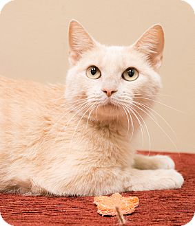 Domestic Shorthair Cat for adoption in Chicago, Illinois - Crush