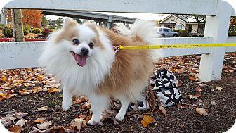 Pomeranian Dog for adoption in Vancouver, Washington - Pongo