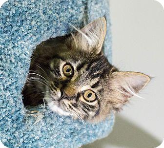 Domestic Mediumhair Cat for adoption in St. Louis, Missouri - Dashwood