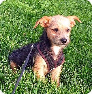 Terrier (Unknown Type, Small) Mix Puppy for adoption in Dublin, California - Rudy