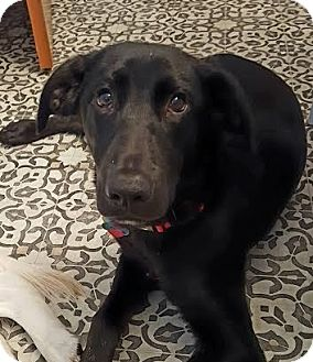 Labrador Retriever Mix Dog for adoption in Fort Atkinson, Wisconsin - Homer