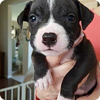 Adopt A Pet :: Pogo (Bucket List) - Wenonah, NJ