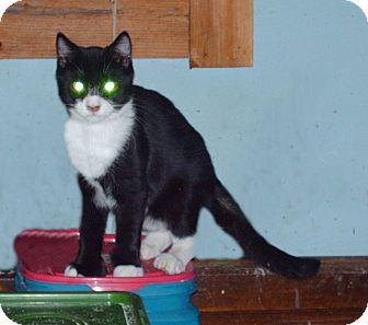 Domestic Shorthair Kitten for adoption in Hampton, Connecticut - Mittens