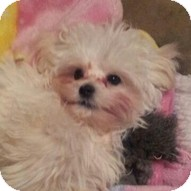 Maltese Puppy for adoption in Madison, Wisconsin - Chance
