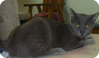 Domestic Shorthair Cat for adoption in Hamburg, New York - Trooper