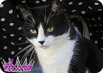 Domestic Shorthair Cat for adoption in Sherman Oaks, California - Reina