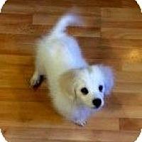 Adopt A Pet :: Snowball (bs) - Brattleboro, VT