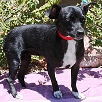 Adopt A Pet :: Panchita - Gilbert, AZ