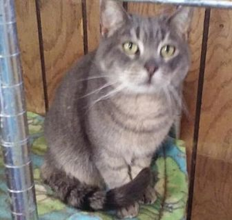 Domestic Longhair Cat for adoption in Surprise, Arizona - Shadow