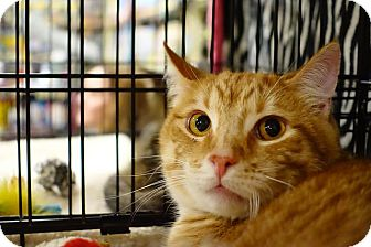 Domestic Shorthair Cat for adoption in College Station, Texas - Malcolm