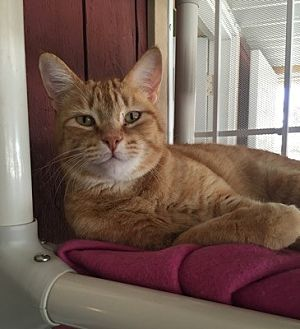 Domestic Shorthair Cat for adoption in Temecula, California - Danny