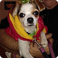 Adopt A Pet :: Millie, a rat terrier mix girl - Arlington, WA