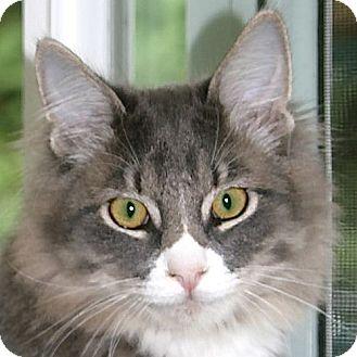 Domestic Mediumhair Cat for adoption in Port Angeles, Washington - Floyd