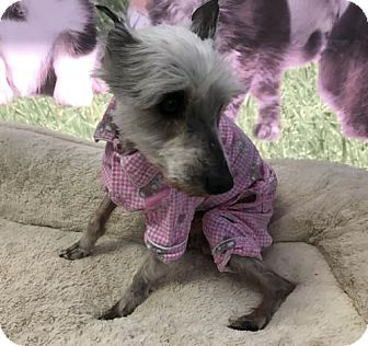 Yorkie, Yorkshire Terrier/Maltese Mix Dog for adoption in Raytown, Missouri - Henry (yes she is a girl)