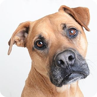 Mixed Breed (Large)/Boxer Mix Dog for adoption in Wilmington, Delaware - Brownie